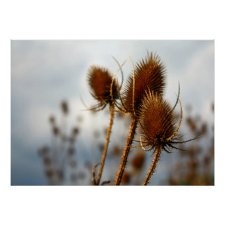 dry thistles poster
