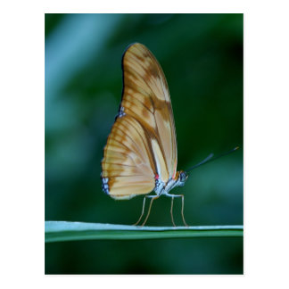 Dryas iulia butterfly postcard