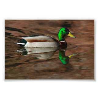 Duck on the Colorado River Print Photo