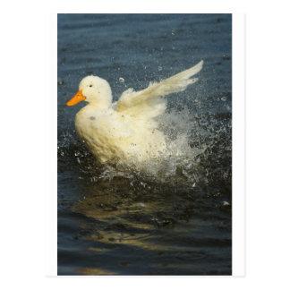 Duck Splash Postcard
