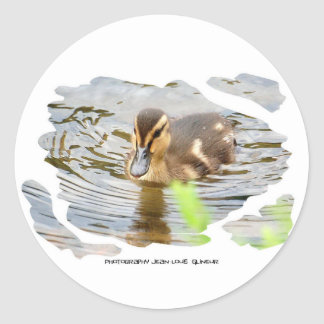 DUCKLING DUCK CHICKEN photo Jean Louis Glineur Classic Round Sticker