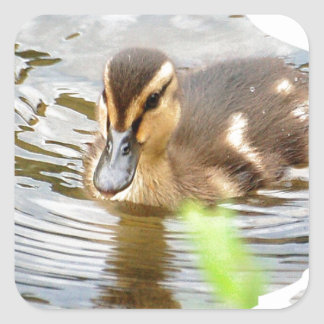 DUCKLING DUCK CHICKEN photo Jean Louis Glineur Square Sticker