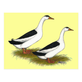 Ducks:  Black Magpies Postcard