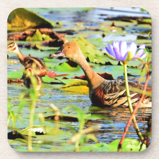 DUCKS IN WATER QUEENSLAND AUSTRALIA COASTER