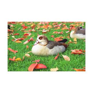 Ducks lying in grass canvas prints