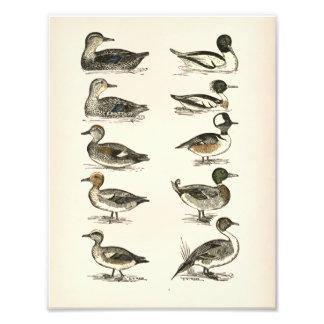 Ducks of North America Illustrations Photo Print