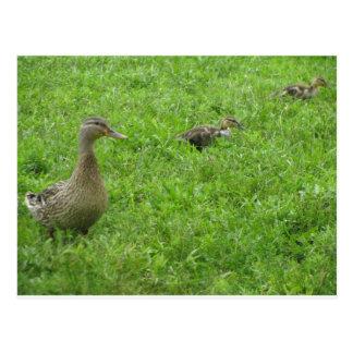 Ducks Post Card