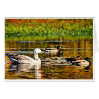 Ducks with a goose, swim in a pond card