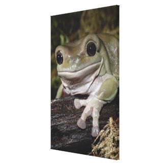 Dumpy Tree Frog. Smiling Frog. Litoria caerulea. Canvas Prints
