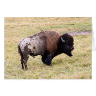 Dusty Bison Bull in Yellowstone National Park Card