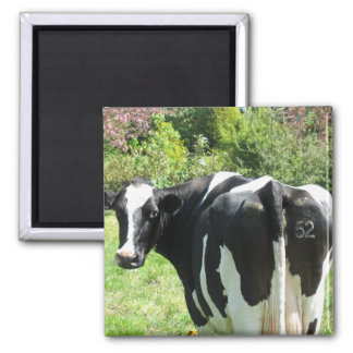 Dutch Cow Number 52 Looking behind her Magnet