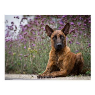Dutch shepherd Flowers Postcard
