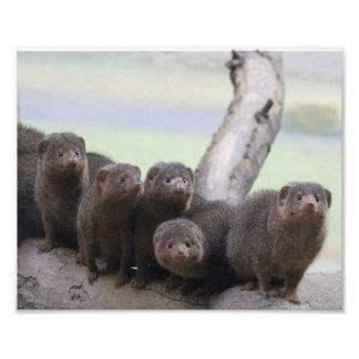 Dwarf Mongoose Pack Photograph