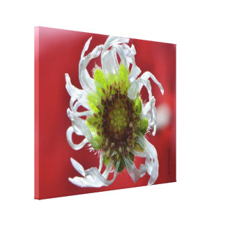 Dying Daisy by Darrel Flint (Canvas) Stretched Canvas Prints