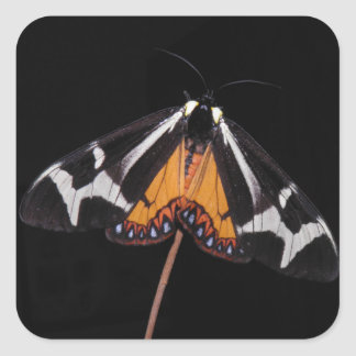 Dysschema howardi (Giant northern flag moth) Square Sticker