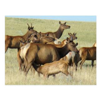 E0007 Cow Elk and Calf Postcard