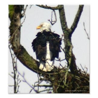 Eagle always vigilante ... photo print
