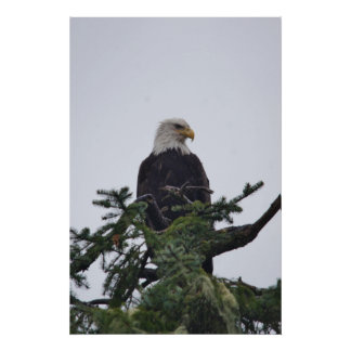 Eagle on tree top picture poster