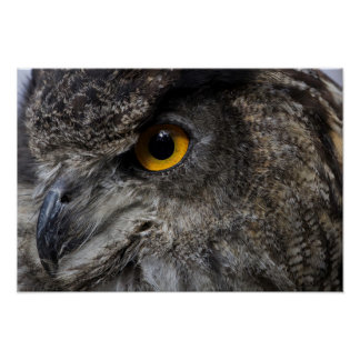 Eagle Owl Eyes Poster