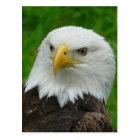 Eagle Photograph - North American Bald Eagle Postcard