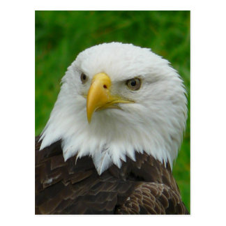 Eagle Photograph - North American Bald Eagle Postcard