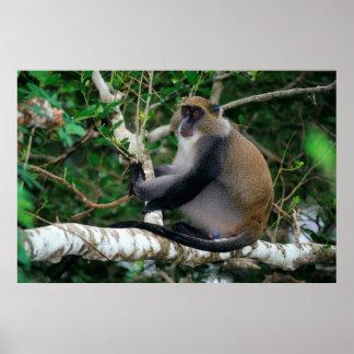Ear Tagged Samango Monkey Poster