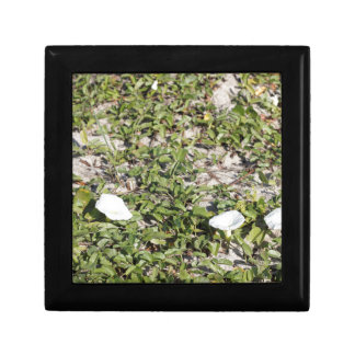 Early Beach Sand Morning Glories Small Square Gift Box