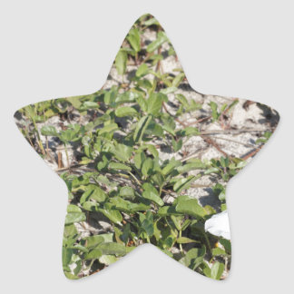 Early Beach Sand Morning Glories Star Sticker