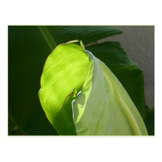 Early Morning Banana Leaf Postcard
