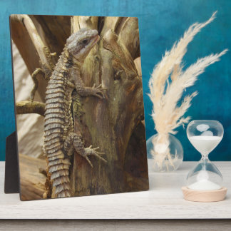 East African Spiny-Tailed Tropical Girdled Lizard Photo Plaques