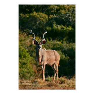 East Cape Kudu canvas print