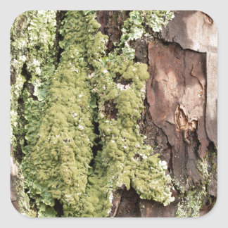 East Coast Pine Tree Bark Wet From Rain with Moss Square Sticker