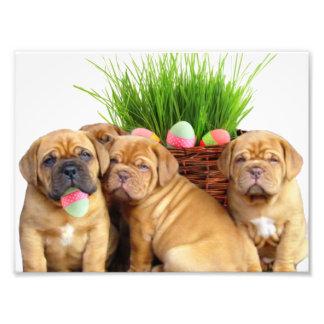 Easter Dogue de Bordeaux pups Photo Print
