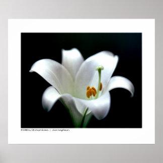 Easter lily | Lilium longiflorum Poster