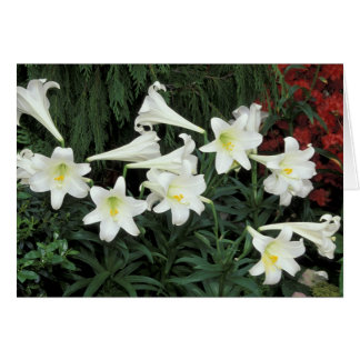 Easter Lily (Lilium regale) Greeting Card