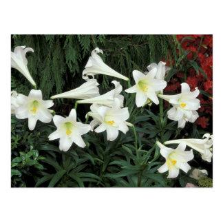 Easter Lily (Lilium regale) Postcard