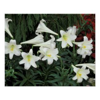 Easter Lily (Lilium regale) Poster