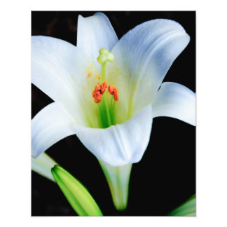 Easter Lily Photo Print