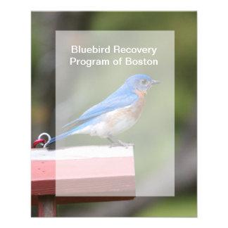 Eastern Bluebird Flyers