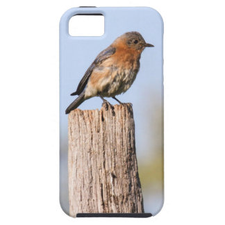 Eastern Bluebird iPhone 5 Cover