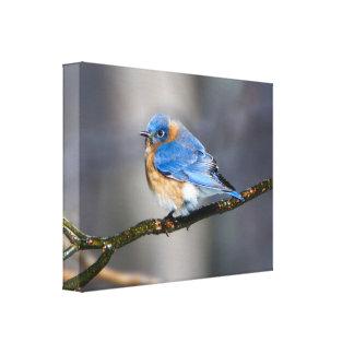 Eastern Bluebird on Ice Covered Limb Canvas Print