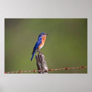 Eastern Bluebird (Sialia Sialis) Adult Male 2 Poster