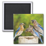 Eastern Bluebird Square Magnet
