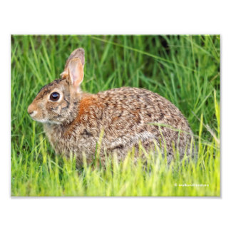 Eastern Cottontail Rabbit in the Long Grass Photo Print