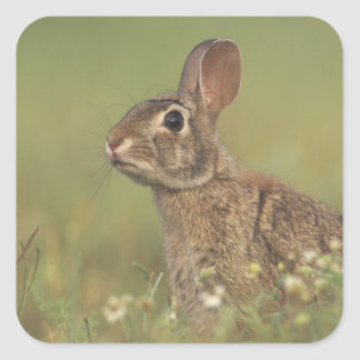 Eastern Cottontail, Sylvilagus floridanus, 3 Square Sticker