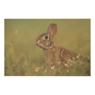 Eastern Cottontail, Sylvilagus floridanus, 3 Wood Canvases