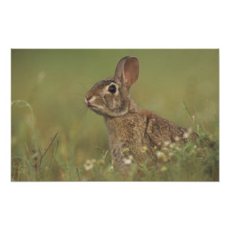 Eastern Cottontail, Sylvilagus floridanus, Poster