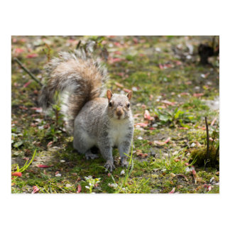 Eastern Grey Squirrel Postcard