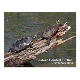 Eastern Painted Turtle Postcard