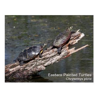 Eastern Painted Turtle Postcard